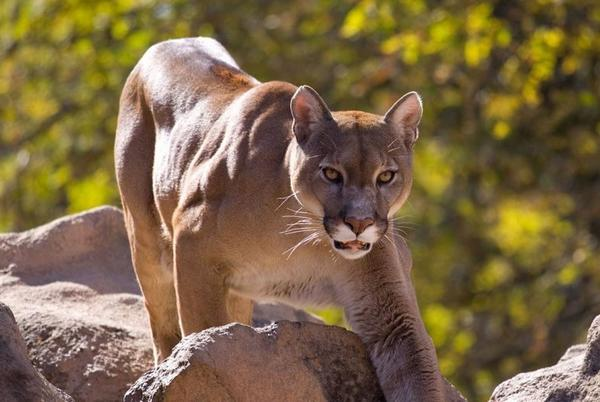 Picture for Man stalked by mountain lion on Utah trail, viral video shows