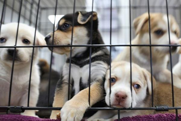 Picture for More than 100 puppies rescued from a single residence in Mesquite, report