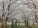Picture for Cherry Blossoms in Full Bloom This Spring in Chicago's Jackson Park