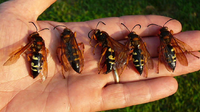 Picture for Beware of Cicada Killers in Illinois
