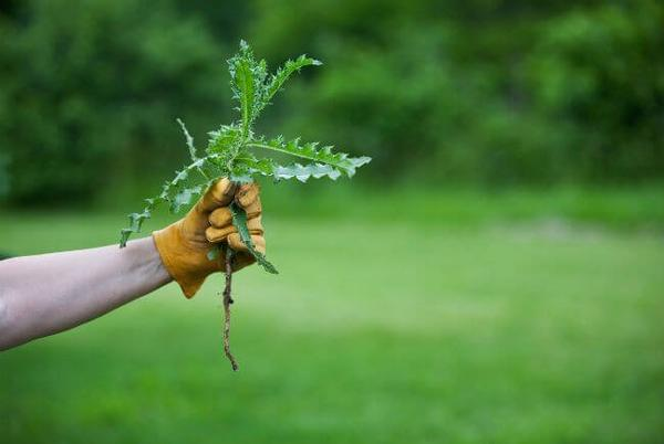 Picture for 'We need new tools including genetic engineering': Climate change is terrible for crops, but great for weeds