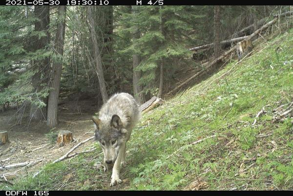 Picture for Future of Lookout wolves uncertain
