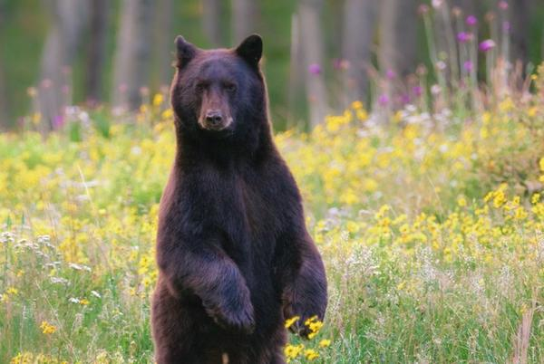 Picture for Colorado Family Trapped Inside Home By Injured Angry Black Bear