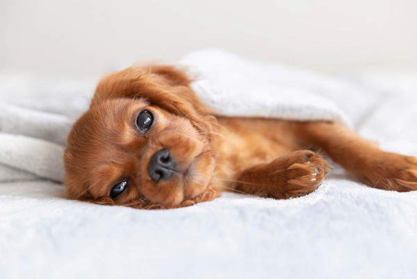 Picture for Pleasant Hill rescue puppy is having trouble sleeping alone