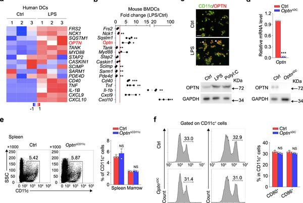 Picture for Optineurin modulates the maturation of dendritic cells to regulate autoimmunity through JAK2-STAT3 signaling